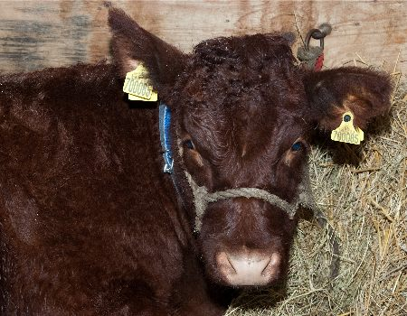 http://www.newarkvintagetractorshow.com/uploads/images/homepageimages/calf.jpg